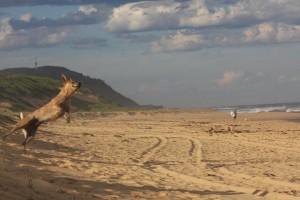 Flying Cooba